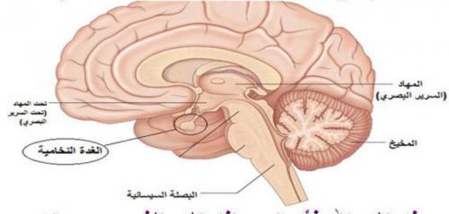 وبالتالي فإن تنظيم إفراز هرمون الألدوسترون في الثدييات (شكل 4) يخضع لتأثير  نظام ما يسمى بالرنين أنجيوتنسين (Renin – Angiotensin System، RAS) والذي  ينتج ...