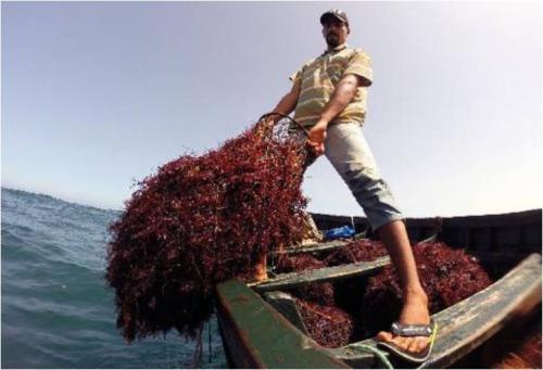 فوائد الطحالب البحرية التى لا يعرفها احد